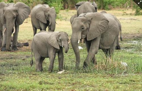 Misterio en Botswana: aparecen muertos más de 350 elefantes sin causa aparente