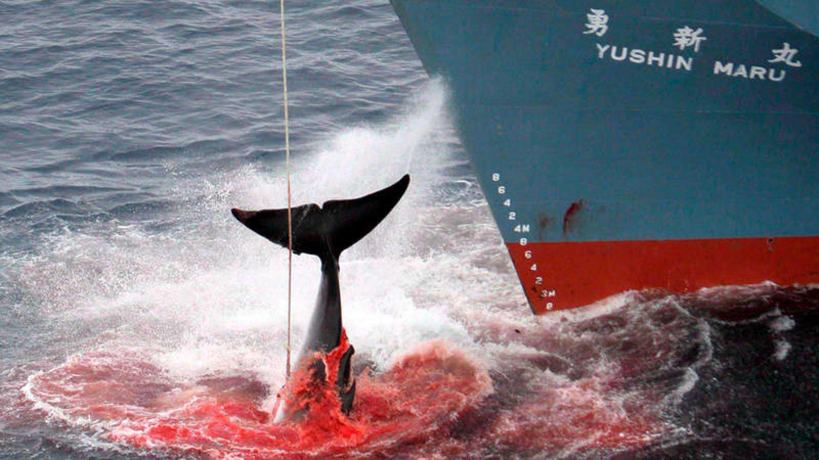 Japón reanuda su caza de ballenas en la Antártida pese a la oposición internacional